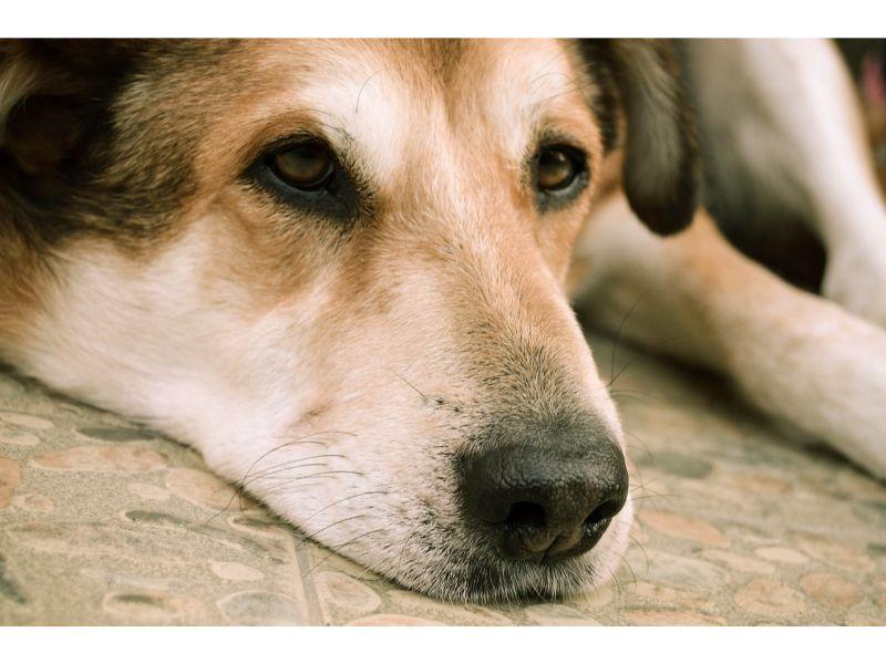 幼稚園免許がもらえなくて悲しい顔の犬